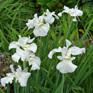 Iris sibirica Gull's Wing