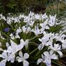 Iris dwarf white