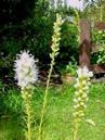 Liatris spicata alba