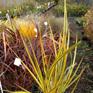 Libertia ixioides Red Rocks