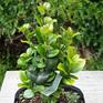 Ligustrum rotundifolia
