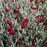 Lychnis Gardeners World