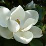 Magnolia grandiflora D D Blanchard