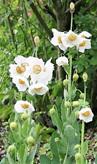 Meconopsis betonicfolia alba
