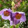 Meconopsis betonicifolia Hensol Violet