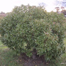 Myoporum laetum