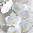 """Phalenopsis Orchid """"iced"""" 1018"""