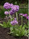 Primula denticulata Lavender