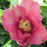 Paeony Itoh Old Rose Dandy