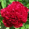 Paeony Red Grace