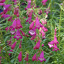 Penstemon Sunburst Amethyst
