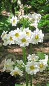 Primula japonica alba