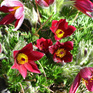 Pulsatilla vulgaris Red Bells
