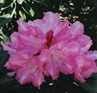 Rhododendron 'Posy'