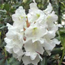 Rhododendron County of York