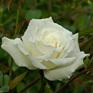Rosa Mrs Herbert Stephens