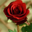 Rose Petite  1440