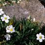 Sisyrinchium Snow Bells