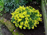 Solidago Rockery Miniature