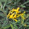 Sophora molloyi Dragons Gold