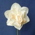 Templeton Rose