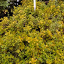 Thymus citrinus Aurea