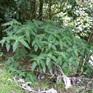 Urtica ferox