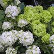 Viburnum Snowball white 1060