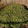 Viburnum davidii Male