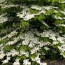 Viburnum plicatum tomentosum Lanarth