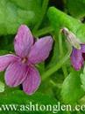 Viola 'Karmen'