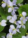 Viola sororia  'Freckles'