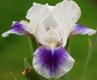 Iris Dwarf Bearded 'Boo'