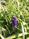 Liriope muscari 'Royal Purple'