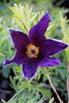 Pulsatilla vulgaris Violet Bells