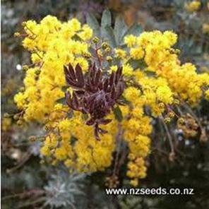 Acacia baileyana var Purpurea