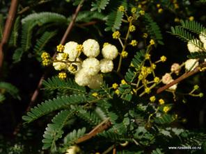 Acacia terminalis