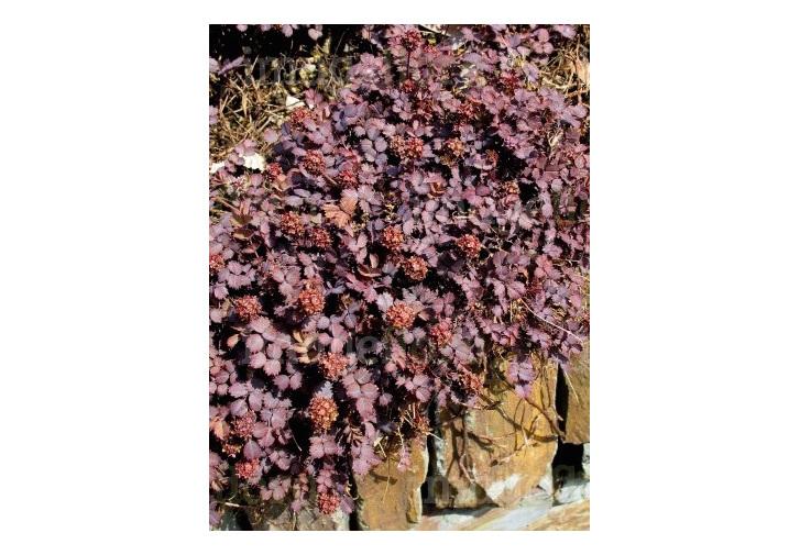 Acaena inermis Purpurea