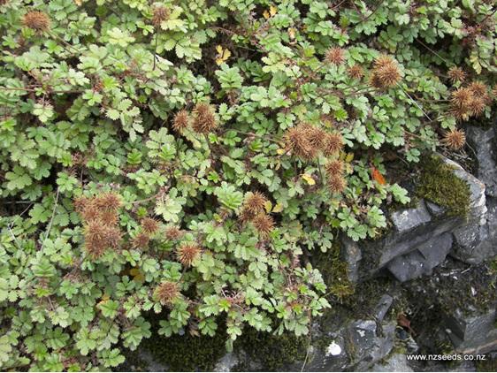 Acaena novae-zelandiae