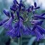 Agapanthus Purple Cloud