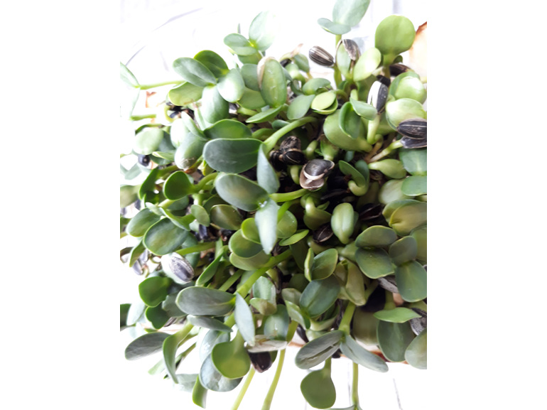 Amazing flavour sprouted as microgreens to add to your salads etc