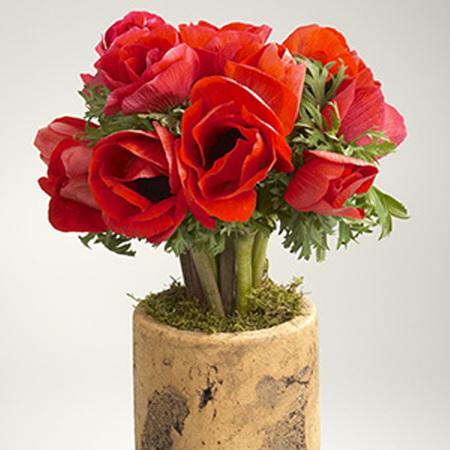 Anemone Galilee Red
