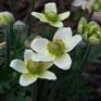 Anemone multifida Magellanica