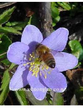 Anemone nemorosa   Woodland Anemone