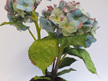 Antique Green hydrangea two flower heads in moss pot