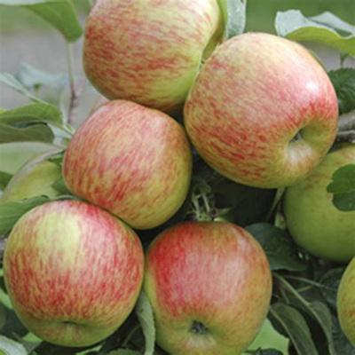 Apples Braeburn Certified Organic Approx 1kg