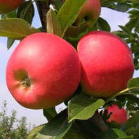 Apples Certified Organic Approx 1kg