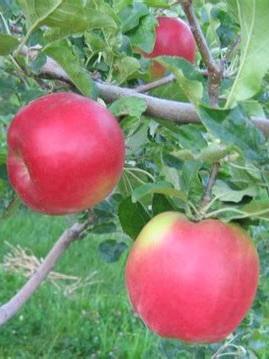 Apples  NZ Beauty Certified Organic 1kg