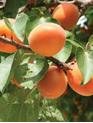 Apricot Kernel Oil - 100ml bottle