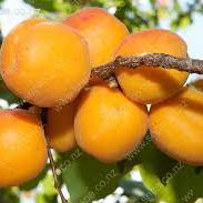 Apricots Spray Free 500g